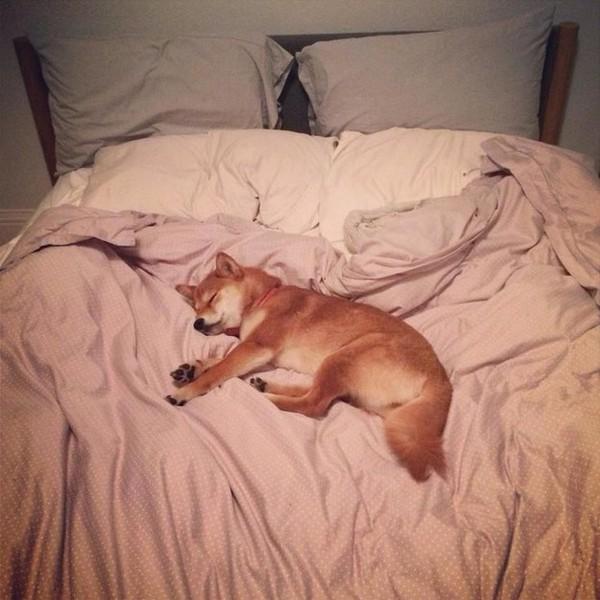 16 bé cún Shiba Inu ngái ngủ đáng yêu tới nỗi chẳng nỡ đánh thức 6
