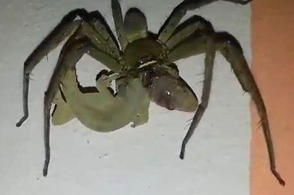 Khoảnh khắc nhện xơi tái thằn lằn sống vô cùng hiếm hoi 1