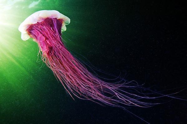 Dừng hình trước khoảnh khắc đẹp kỳ ảo của sứa biển 6