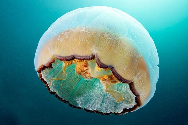 Dừng hình trước khoảnh khắc đẹp kỳ ảo của sứa biển 8