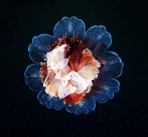 Dừng hình trước khoảnh khắc đẹp kỳ ảo của sứa biển 3
