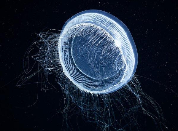 Dừng hình trước khoảnh khắc đẹp kỳ ảo của sứa biển 5