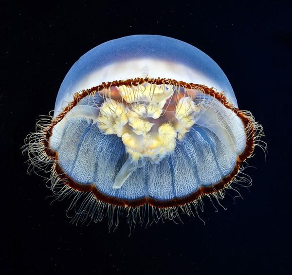 Dừng hình trước khoảnh khắc đẹp kỳ ảo của sứa biển 17