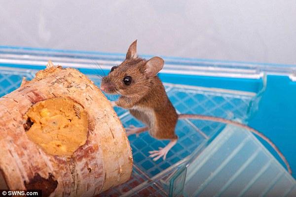 Chuột hoang may mắn được nuôi làm thú cưng sau khi bị chẹt gãy chân 1