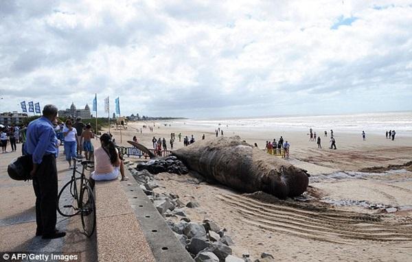 Vật vã vận chuyển xác cá voi nặng 25 tấn về nơi chôn cất 1