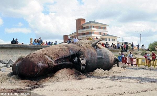 Vật vã vận chuyển xác cá voi nặng 25 tấn về nơi chôn cất 6