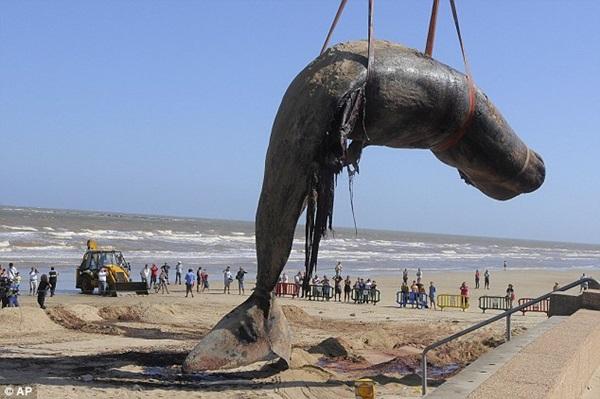 Vật vã vận chuyển xác cá voi nặng 25 tấn về nơi chôn cất 2