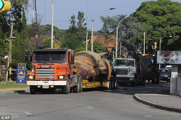 Vật vã vận chuyển xác cá voi nặng 25 tấn về nơi chôn cất 4