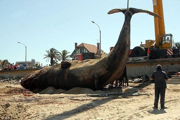 Vật vã vận chuyển xác cá voi nặng 25 tấn về nơi chôn cất 3
