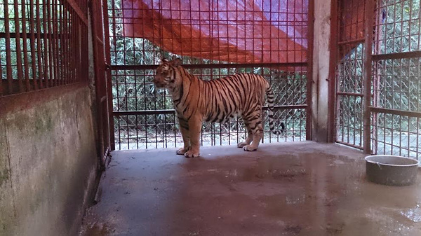 Bàn giao 2 cá thể hổ Đông Dương về Trung tâm động vật hoang dã Hà Nội 1