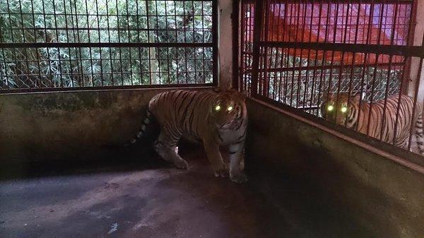Bàn giao 2 cá thể hổ Đông Dương về Trung tâm động vật hoang dã Hà Nội 2