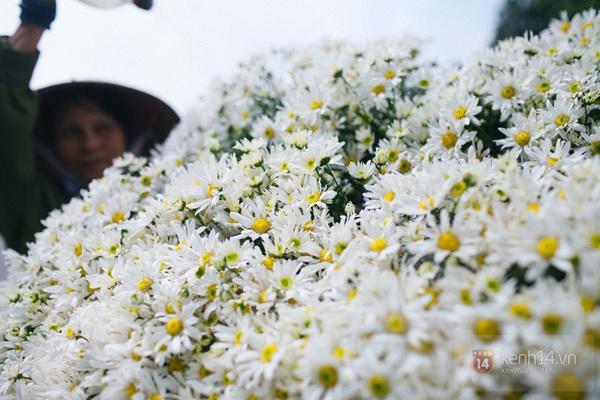 Chùm ảnh: Cúc họa mi bồng bềnh như mây về trên phố Hà Nội 12