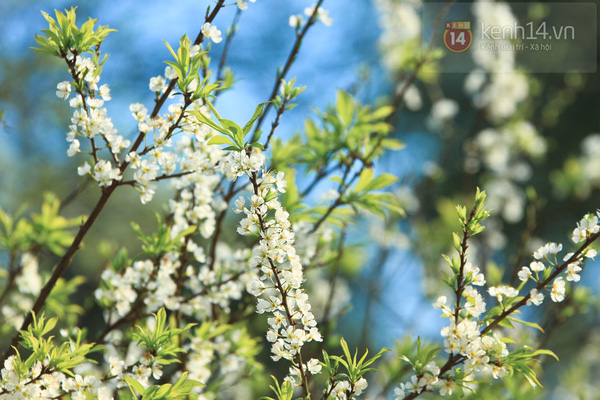 Đẹp ngất ngây hoa mận nở phủ trắng cao nguyên Bắc Hà 14