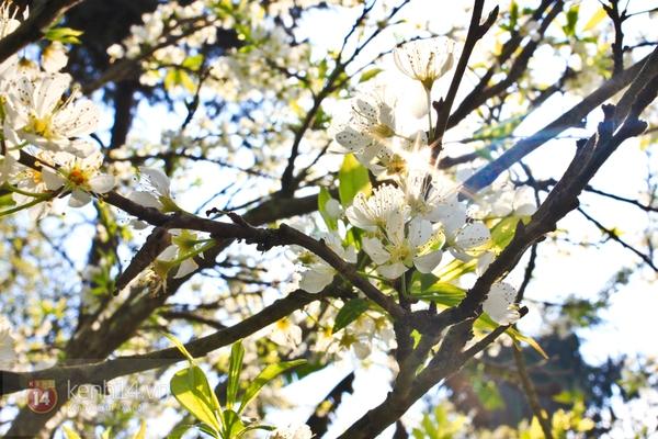 Đẹp ngất ngây hoa mận nở phủ trắng cao nguyên Bắc Hà 15