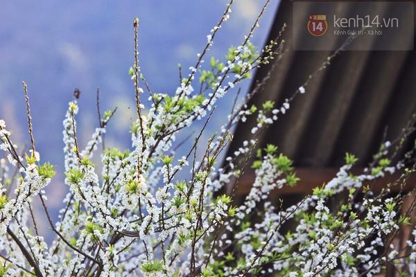 Đẹp ngất ngây hoa mận nở phủ trắng cao nguyên Bắc Hà 17