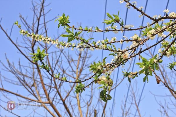 Đẹp ngất ngây hoa mận nở phủ trắng cao nguyên Bắc Hà 8