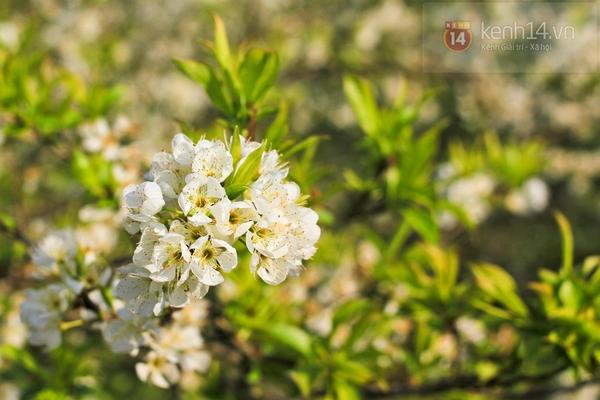 Đẹp ngất ngây hoa mận nở phủ trắng cao nguyên Bắc Hà 9