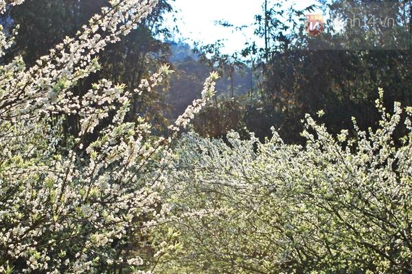 Đẹp ngất ngây hoa mận nở phủ trắng cao nguyên Bắc Hà 10