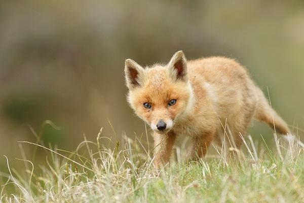 """Loài cáo đỏ """"khoe ảnh"""" dễ thương như những em bé 3"""