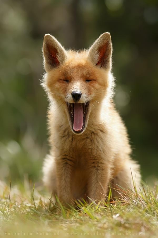 """Loài cáo đỏ """"khoe ảnh"""" dễ thương như những em bé 1"""