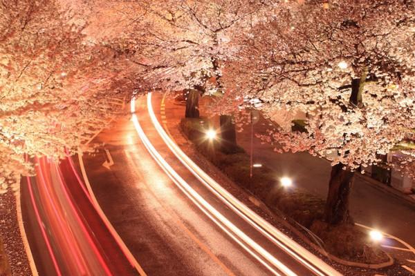 """Ngắm hoa anh đào Nhật Bản """"tung cánh"""" trong bộ ảnh phơi sáng 3"""
