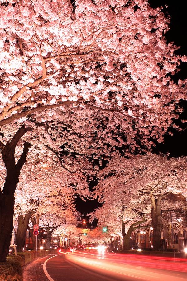 """Ngắm hoa anh đào Nhật Bản """"tung cánh"""" trong bộ ảnh phơi sáng 1"""