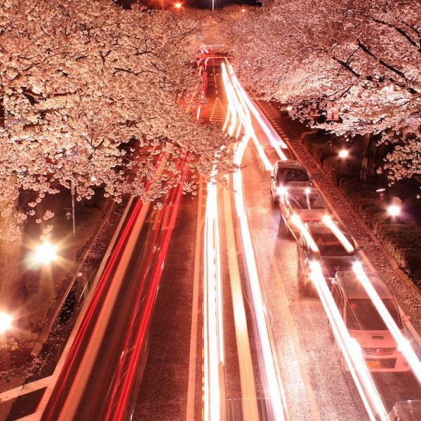 """Ngắm hoa anh đào Nhật Bản """"tung cánh"""" trong bộ ảnh phơi sáng 4"""