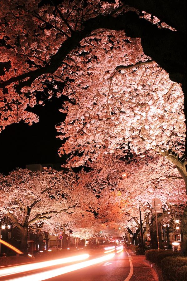 """Ngắm hoa anh đào Nhật Bản """"tung cánh"""" trong bộ ảnh phơi sáng 2"""