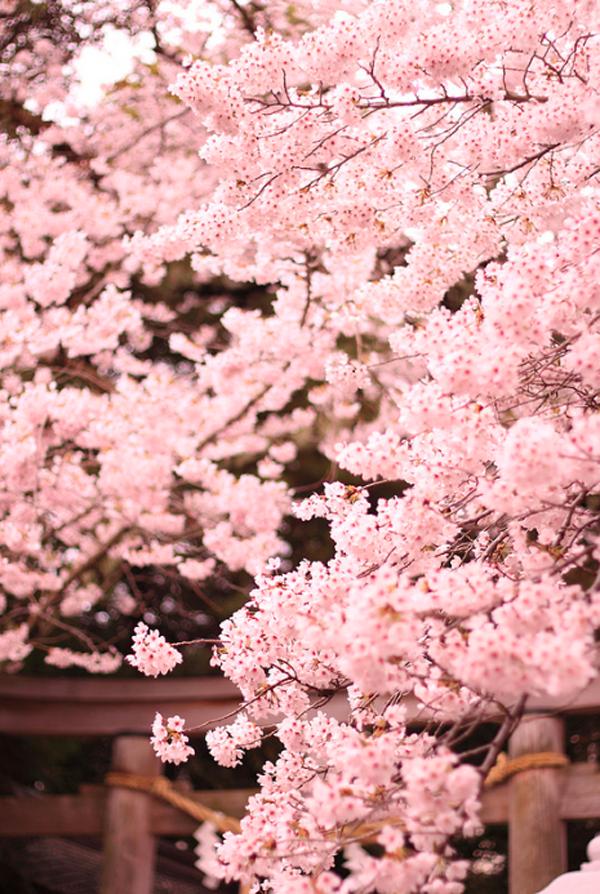 """Ngắm hoa anh đào Nhật Bản """"tung cánh"""" trong bộ ảnh phơi sáng 6"""