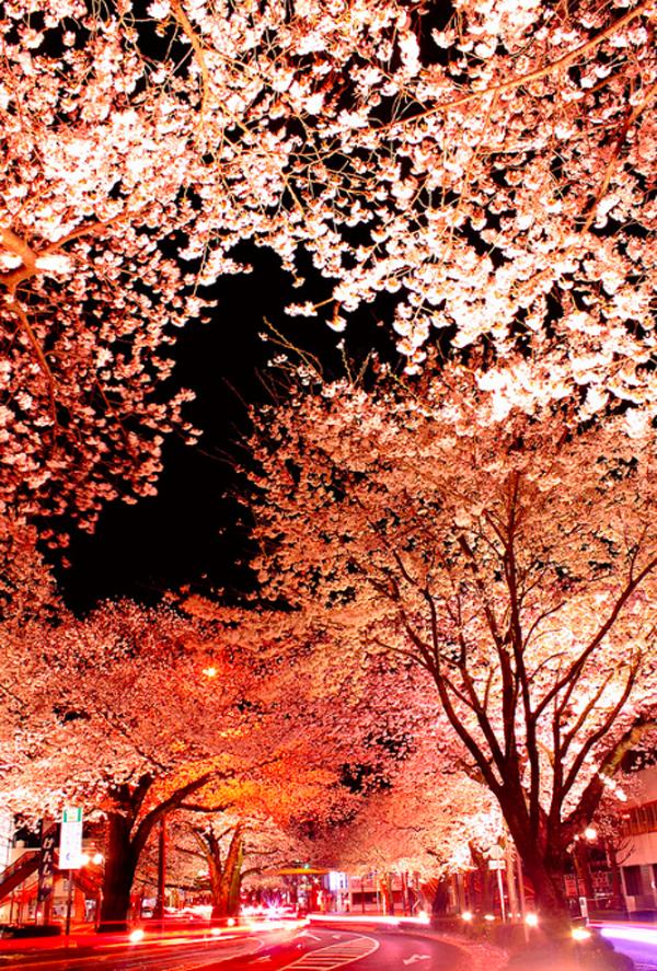"""Ngắm hoa anh đào Nhật Bản """"tung cánh"""" trong bộ ảnh phơi sáng 5"""