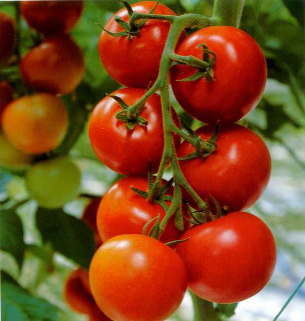 """Hành trình """"rung chuyển thế giới"""" của quả cà chua 2"""