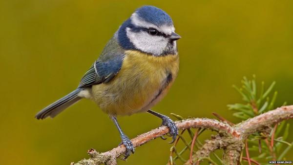 """Phát hiện mới: Loài chim cũng biết """"lè nhè"""" khi say 2"""