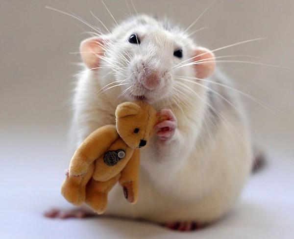 3 chú chuột nhỏ bên gấu bông làm tan chảy trái tim của những người yêu động vật 16