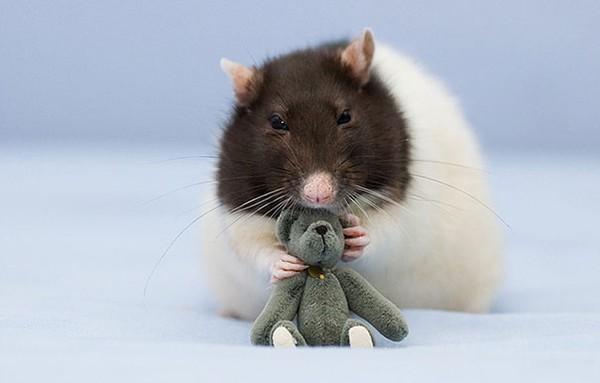 3 chú chuột nhỏ bên gấu bông làm tan chảy trái tim của những người yêu động vật 7