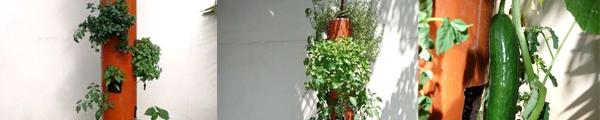 Chi tiết cách trồng cây sả: vừa làm cảnh, vừa đuổi muỗi 9