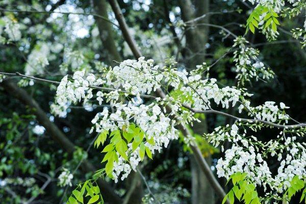 Tháng ba ta đi tìm mùa hoa sưa Hà Nội… 1