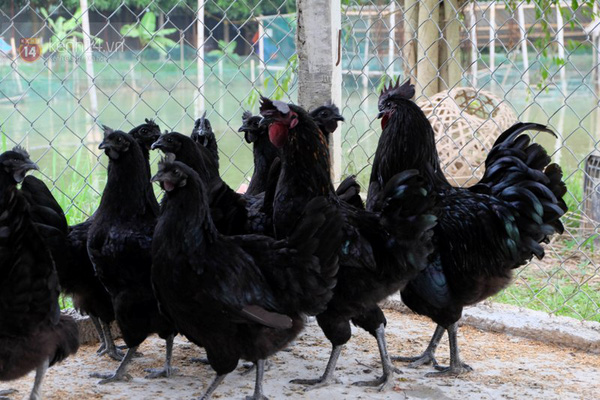 """Cận cảnh trang trại choáng ngợp của """"vua chim"""" ở Hà Nội 16"""