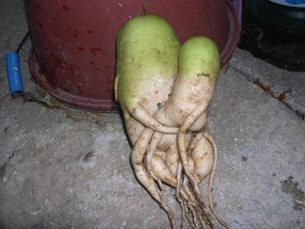 Chùm ảnh củ cải quái dị nhất quả đất 12