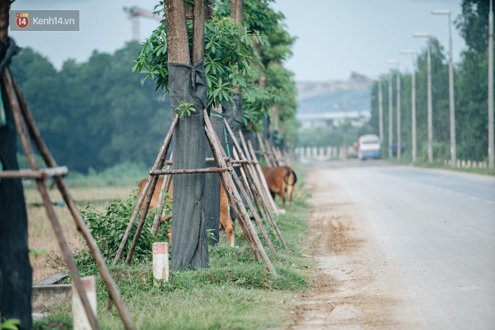 Cuộc di cư của 96 cây hoa sữa từ hồ Tây ra bãi rác Nam Sơn: Đâm chồi lộc xanh, hy vọng khuếch tán mùi hôi thối - Ảnh 2.