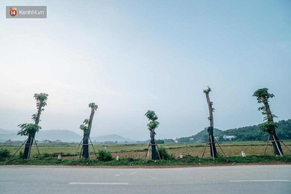 Cuộc di cư của 96 cây hoa sữa từ hồ Tây ra bãi rác Nam Sơn: Đâm chồi lộc xanh, hy vọng khuếch tán mùi hôi thối - Ảnh 3.