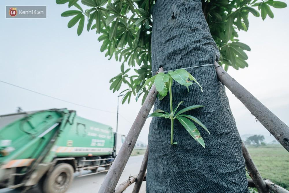 Cuộc di cư của 96 cây hoa sữa từ hồ Tây ra bãi rác Nam Sơn: Đâm chồi lộc xanh, hy vọng khuếch tán mùi hôi thối - Ảnh 4.