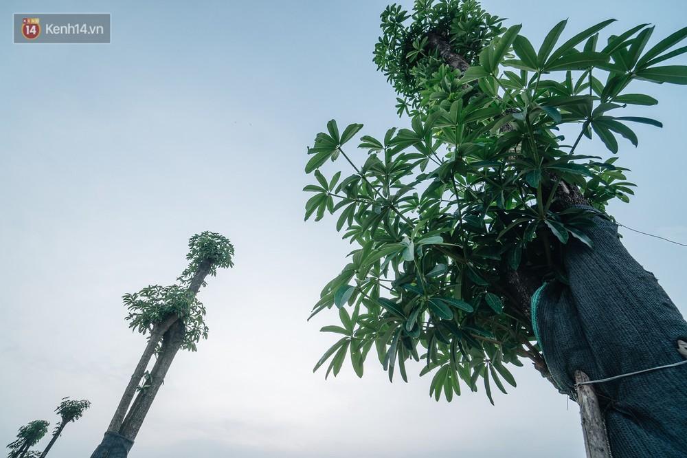 Cuộc di cư của 96 cây hoa sữa từ hồ Tây ra bãi rác Nam Sơn: Đâm chồi lộc xanh, hy vọng khuếch tán mùi hôi thối - Ảnh 8.