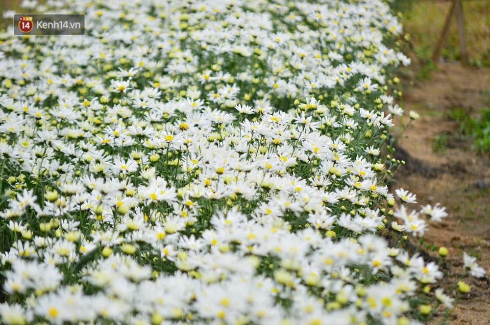 """Hàng nghìn người chen chúc """"check in"""" vườn cúc họa mi lần đầu tiên được trồng ở Đà Nẵng - Ảnh 10."""