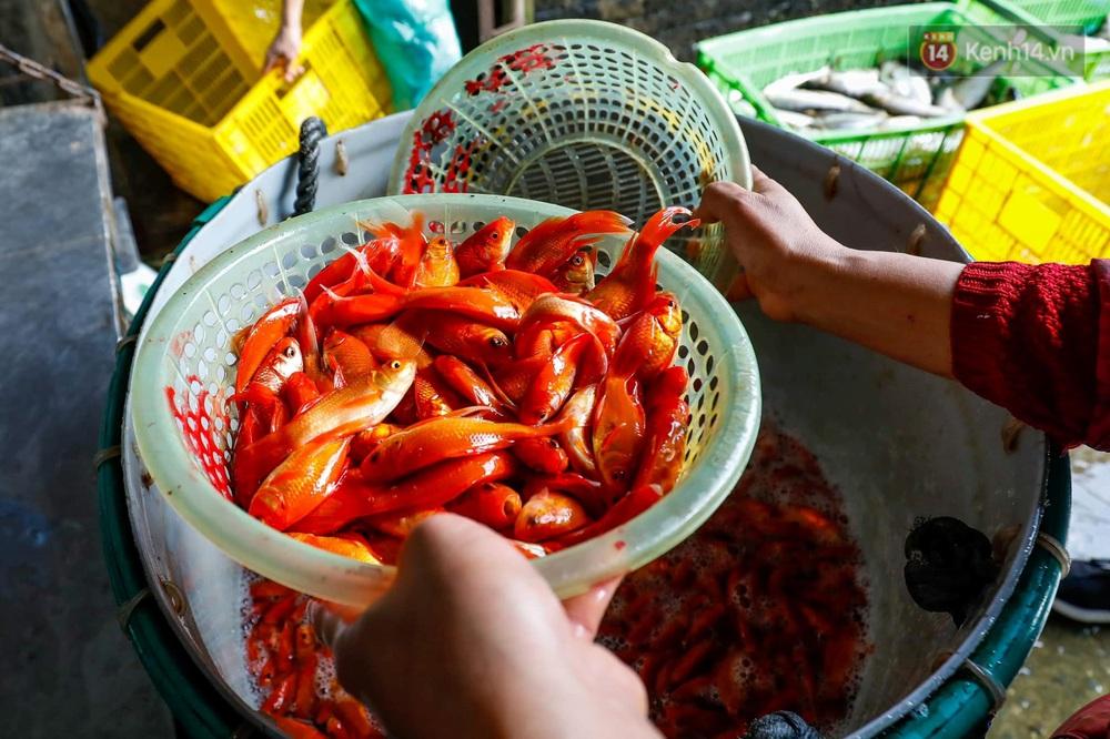 Chùm ảnh: Cá chép đỏ phục vụ lễ Ông Công Ông Táo nườm nượp đổ về chợ đầu mối - Ảnh 4.