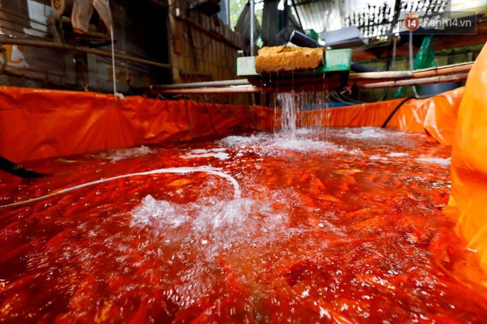 Chùm ảnh: Cá chép đỏ phục vụ lễ Ông Công Ông Táo nườm nượp đổ về chợ đầu mối - Ảnh 8.