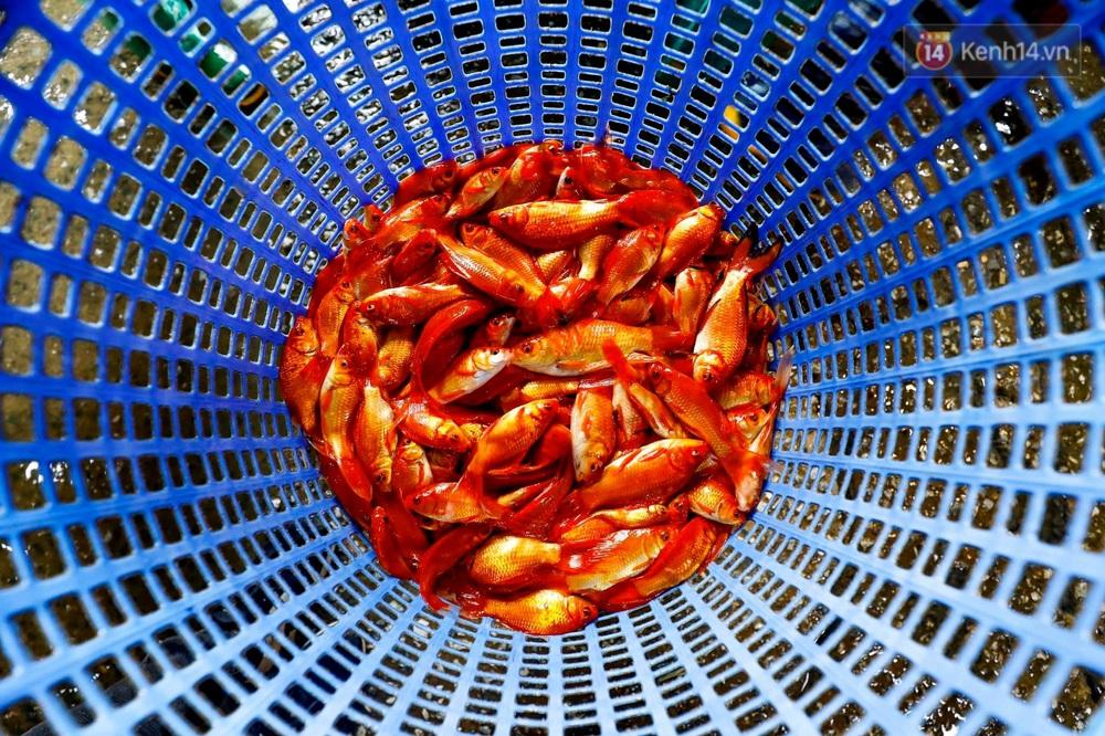 Chùm ảnh: Cá chép đỏ phục vụ lễ Ông Công Ông Táo nườm nượp đổ về chợ đầu mối - Ảnh 12.