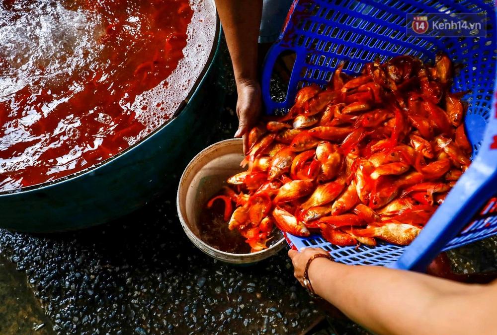 Chùm ảnh: Cá chép đỏ phục vụ lễ Ông Công Ông Táo nườm nượp đổ về chợ đầu mối - Ảnh 9.