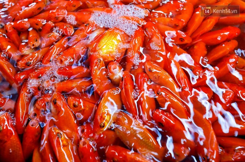 Chùm ảnh: Cá chép đỏ phục vụ lễ Ông Công Ông Táo nườm nượp đổ về chợ đầu mối - Ảnh 5.