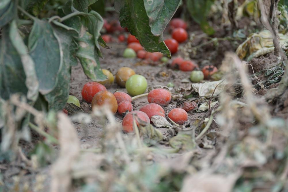 Ảnh: Nông dân Mê Linh nuốt nước mắt, nhổ bỏ hàng trăm tấn củ cải vì không tiêu thụ được - Ảnh 13.