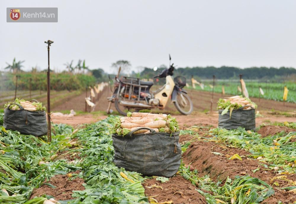 Ảnh: Nông dân Mê Linh nuốt nước mắt, nhổ bỏ hàng trăm tấn củ cải vì không tiêu thụ được - Ảnh 11.